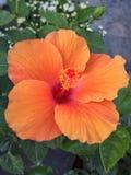 Flor alaranjada do hibiscus imagens de stock royalty free