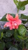 Flor alaranjada do hibiscus Imagem de Stock