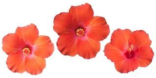 Flor alaranjada do hibiscus do isolamento fotografia de stock royalty free