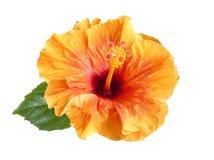 Flor alaranjada do hibiscus isolada Imagem de Stock