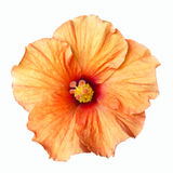 Flor alaranjada do hibiscus isolada Imagens de Stock Royalty Free