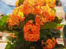 Flor alaranjada do kalanchoe Fotografia de Stock
