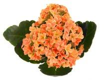 Flor alaranjada do kalanchoe Foto de Stock