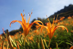 Flor alaranjada do lírio Imagens de Stock