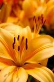 Flor alaranjada do lírio Foto de Stock