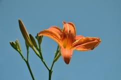 A flor alaranjada do lírio com botões saiu no fundo do céu azul na natureza Fotografia de Stock Royalty Free