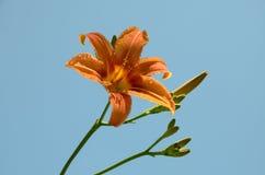 Flor alaranjada do lírio com fundo do céu azul dos botões exatamente na natureza Fotografia de Stock Royalty Free