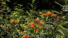 Flor alaranjada do Lantana em uma planta Imagens de Stock