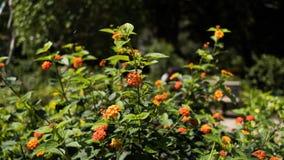 Flor alaranjada do Lantana em uma planta Fotografia de Stock