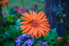 Flor alaranjada do mum Imagem de Stock