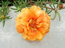 Flor alaranjada do portulac Fotos de Stock