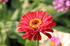 Flor alaranjada do zinnia Foto de Stock