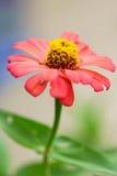 Flor alaranjada do zinnia Imagem de Stock