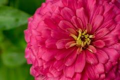 Flor alaranjada do zinnia imagens de stock