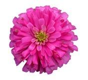 Flor alaranjada do zinnia fotografia de stock royalty free