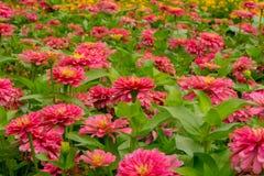 Flor alaranjada do zinnia fotos de stock royalty free
