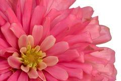 Flor alaranjada do zinnia imagens de stock royalty free
