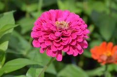 Flor alaranjada do zinnia foto de stock royalty free