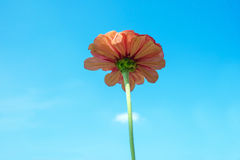 Flor alaranjada do Zinnia no fundo do céu azul Fotografia de Stock