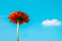 Flor alaranjada do Zinnia no fundo do céu azul Imagens de Stock Royalty Free