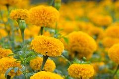 Flor alaranjada dos cravos-de-defunto imagens de stock