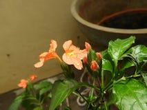 Flor alaranjada dos infundibuliformis de Crossandra com pingos de chuva imagens de stock