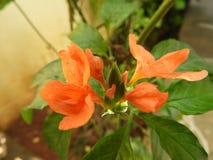 Flor alaranjada dos infundibuliformis de Crossandra com pingos de chuva fotos de stock