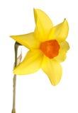 Flor alaranjada e amarela do daffodil Fotos de Stock