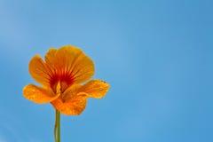 Flor alaranjada e céu azul Fotografia de Stock