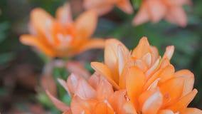 Flor alaranjada e fundo verde da folha no jardim no dia ensolarado do verão ou de mola para a decoração da beleza e o projeto da  vídeos de arquivo