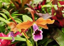Flor alaranjada e roxa colorida de uma orquídea do cattleya Foto de Stock Royalty Free