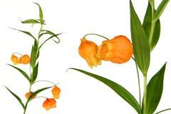 Flor alaranjada exótica Imagem de Stock Royalty Free