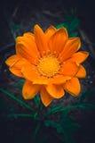 Flor alaranjada grande do gazania Fotografia de Stock