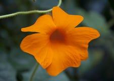 Flor alaranjada interessante Imagens de Stock Royalty Free