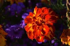 Flor alaranjada - jardim de Deutscher do sonho fotografia de stock