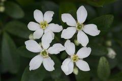 Flor alaranjada mexicana (Choisya Ternata) Imagens de Stock