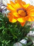 Flor alaranjada na mola Fotografia de Stock Royalty Free