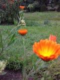 Flor alaranjada natural bonita da margarida da cor de Sri Lanka foto de stock