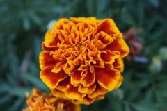 Flor alaranjada no ambiente urbano Fotografia de Stock