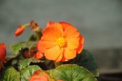 Flor alaranjada pequena Imagem de Stock