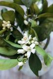 Flor alaranjada perfumada branca Fotografia de Stock Royalty Free