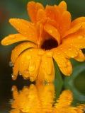 Flor alaranjada refletida na água foto de stock