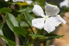 Flor alba del roseus del Catharanthus Imagenes de archivo