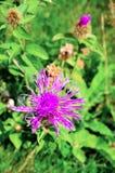 Flor alpestre fotografía de archivo