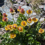 Flor alpestre Frutas de Reptans del Geum, avens del arrastramiento Valle de Aosta, Italia fotografía de archivo libre de regalías
