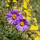 Flor alpina, alpinus del aster, el valle de Aosta Italia Imagen de archivo