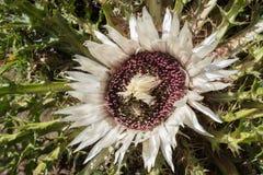 Flor alpina Carlina Acaulis Stemless Carline Thistle no verão Imagens de Stock