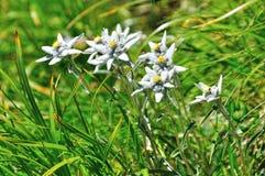 Flor alpina de Edelweiss Fotografia de Stock Royalty Free