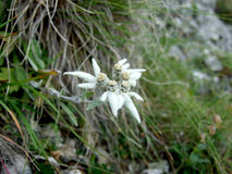 Flor alpina de Edelweiss Fotografia de Stock