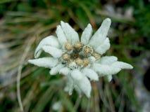 Flor alpina de Edelweiss Imagem de Stock
